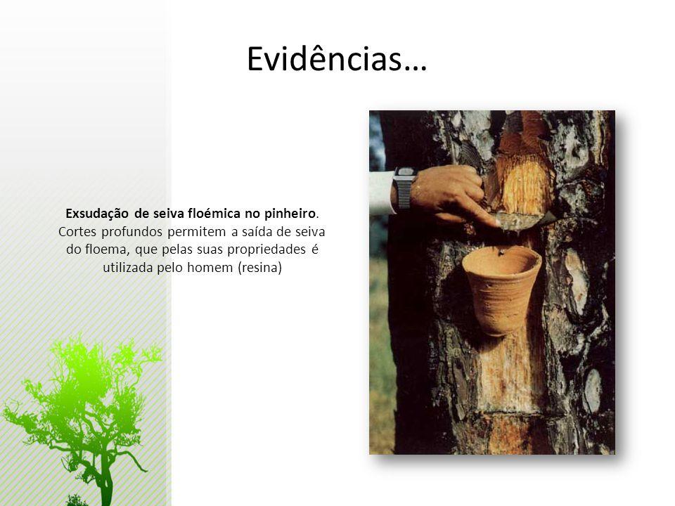 Evidências… Exsudação de seiva floémica no pinheiro. Cortes profundos permitem a saída de seiva do floema, que pelas suas propriedades é utilizada pel