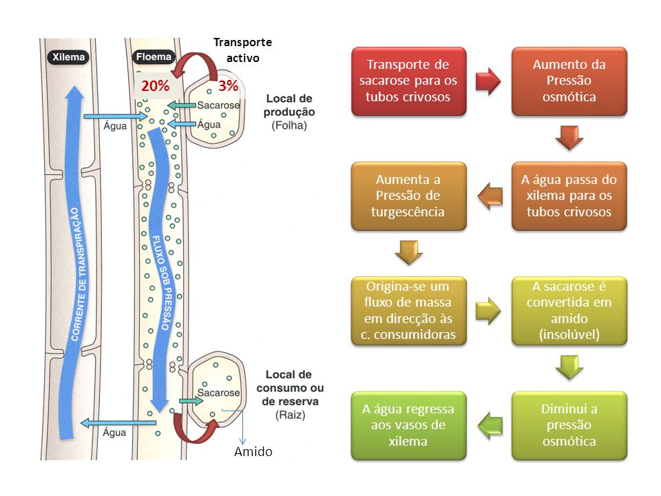 3%20% Transporte activo Transporte de sacarose para os tubos crivosos Aumento da Pressão osmótica A água passa do xilema para os tubos crivosos Aument