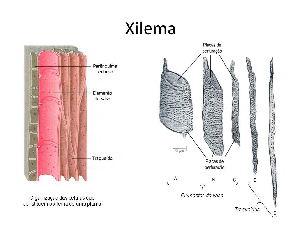 Xilema Organização das células que constituem o xilema de uma planta Elementos de vaso Traqueídos