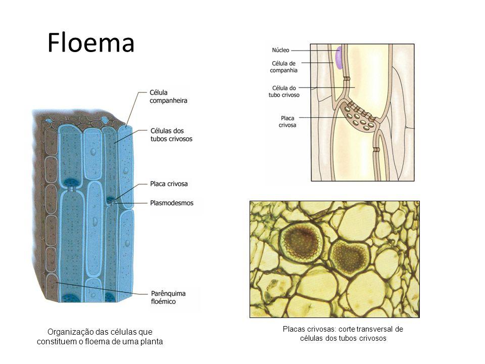 Floema Organização das células que constituem o floema de uma planta Placas crivosas: corte transversal de células dos tubos crivosos