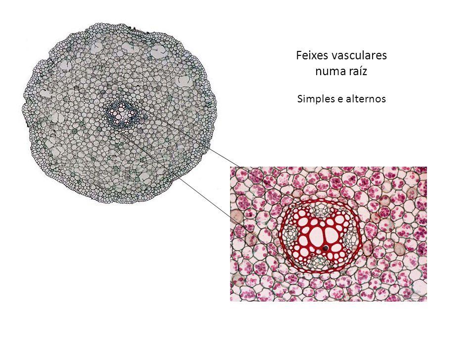 Feixes vasculares numa raíz Simples e alternos