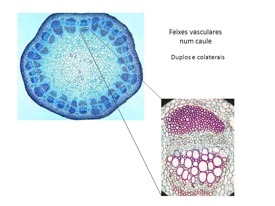 Feixes vasculares num caule Duplos e colaterais