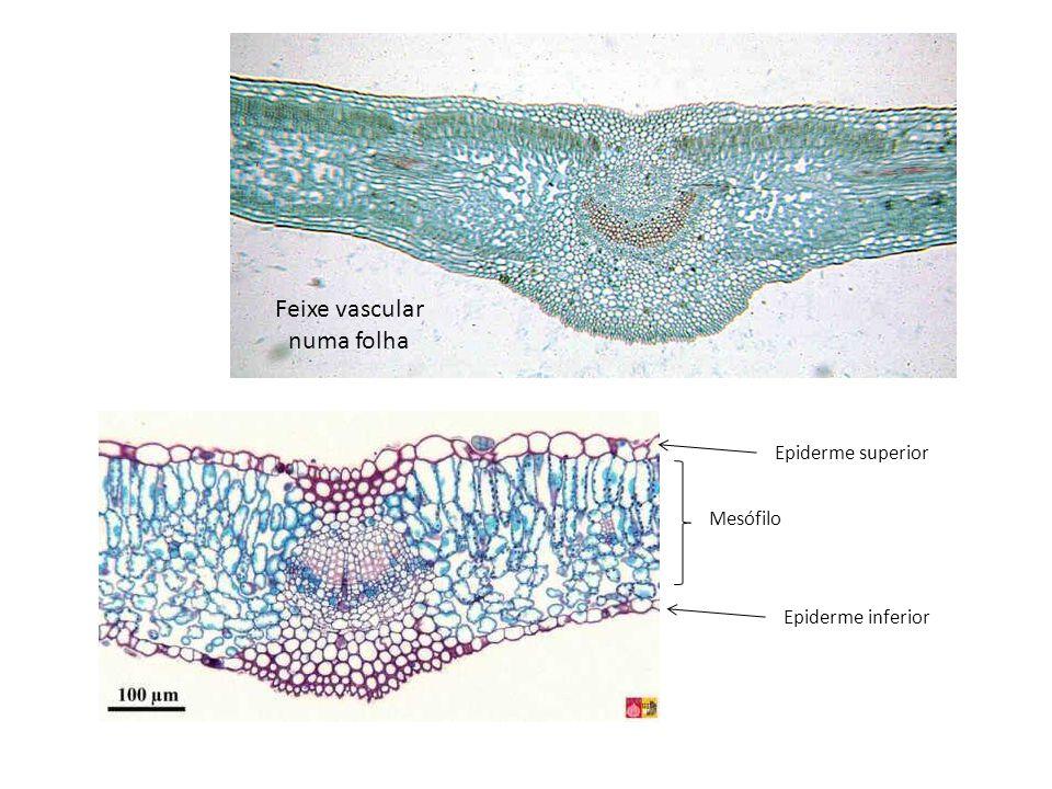 Feixe vascular numa folha Epiderme superior Epiderme inferior Mesófilo