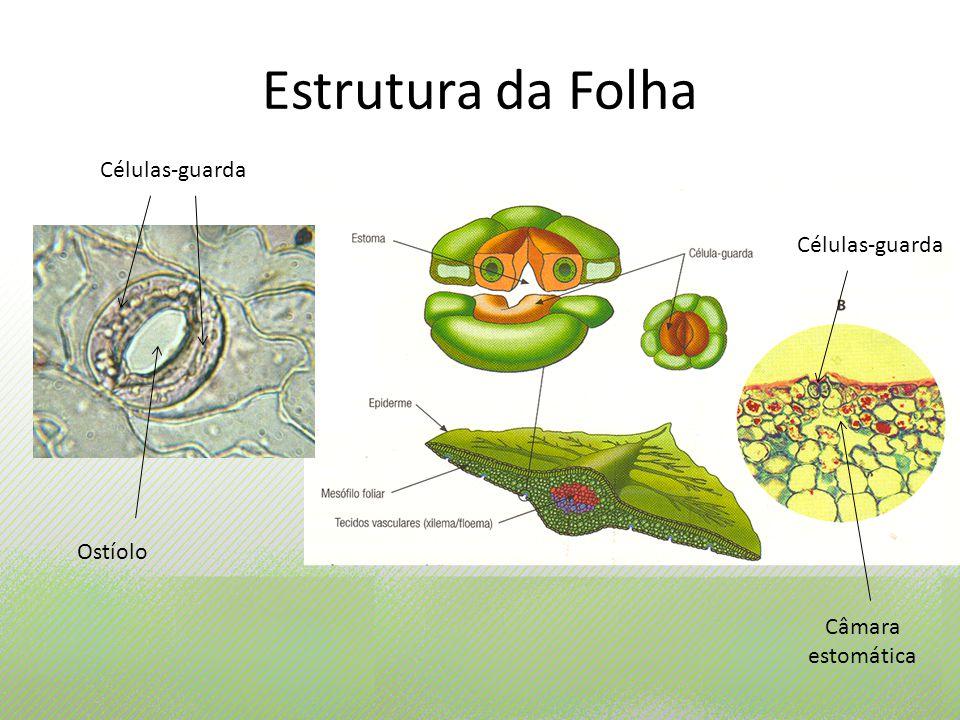 Estrutura da Folha Ostíolo Células-guarda Câmara estomática