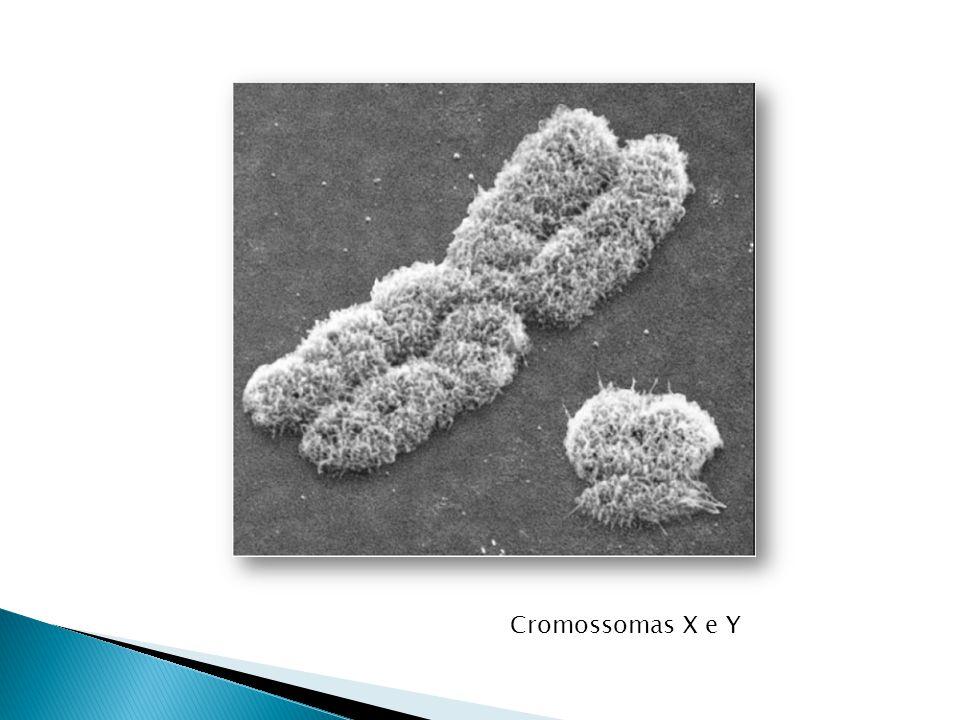 Cromossomas X e Y