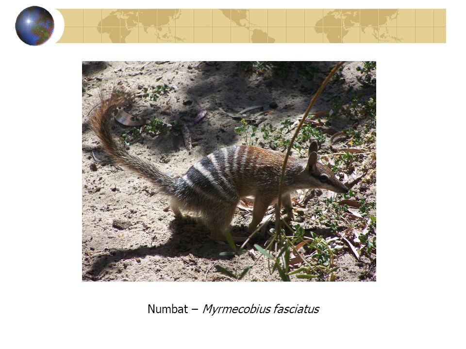 Numbat – Myrmecobius fasciatus