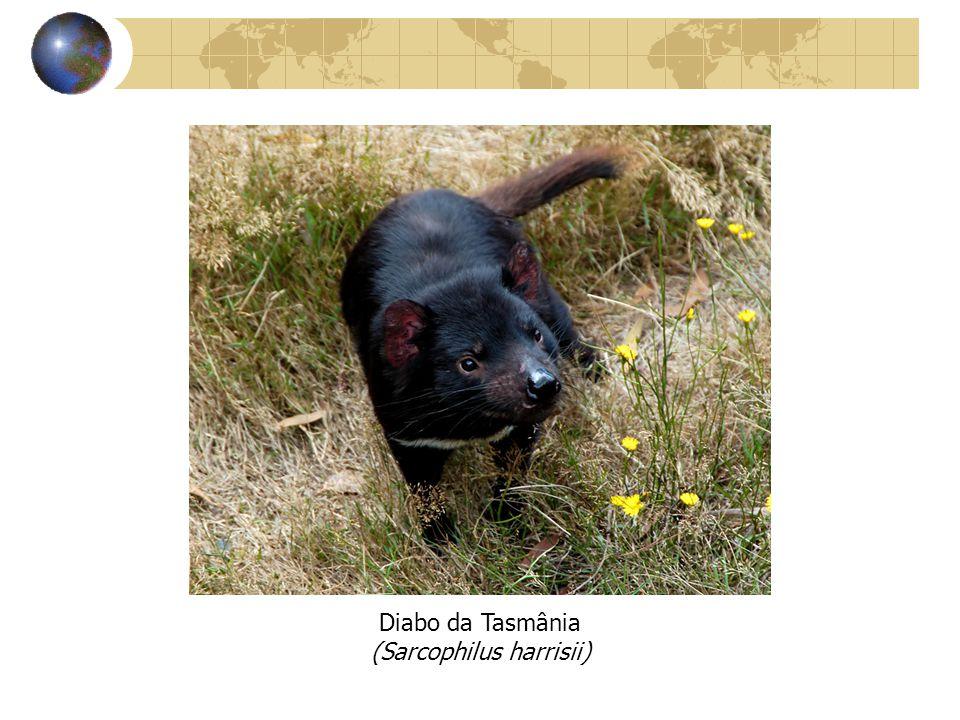 Diabo da Tasmânia (Sarcophilus harrisii)