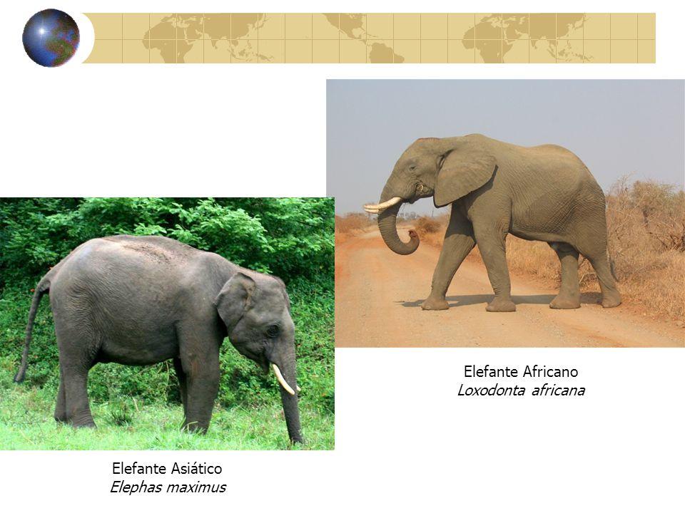 Elefante Africano Loxodonta africana Elefante Asiático Elephas maximus