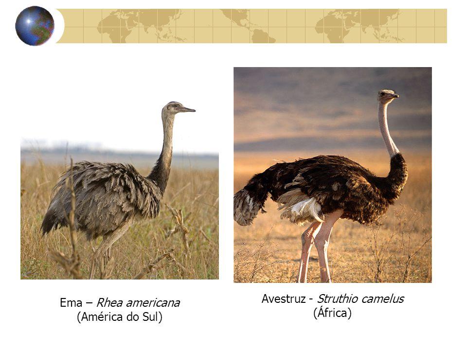 Avestruz - Struthio camelus (África) Ema – Rhea americana (América do Sul)
