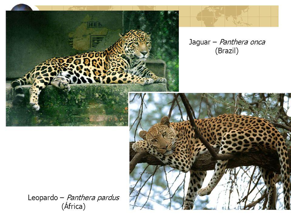 Jaguar – Panthera onca (Brazil) Leopardo – Panthera pardus (África)