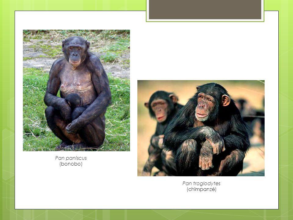 Pan paniscus (bonobo) Pan troglodytes (chimpanzé)