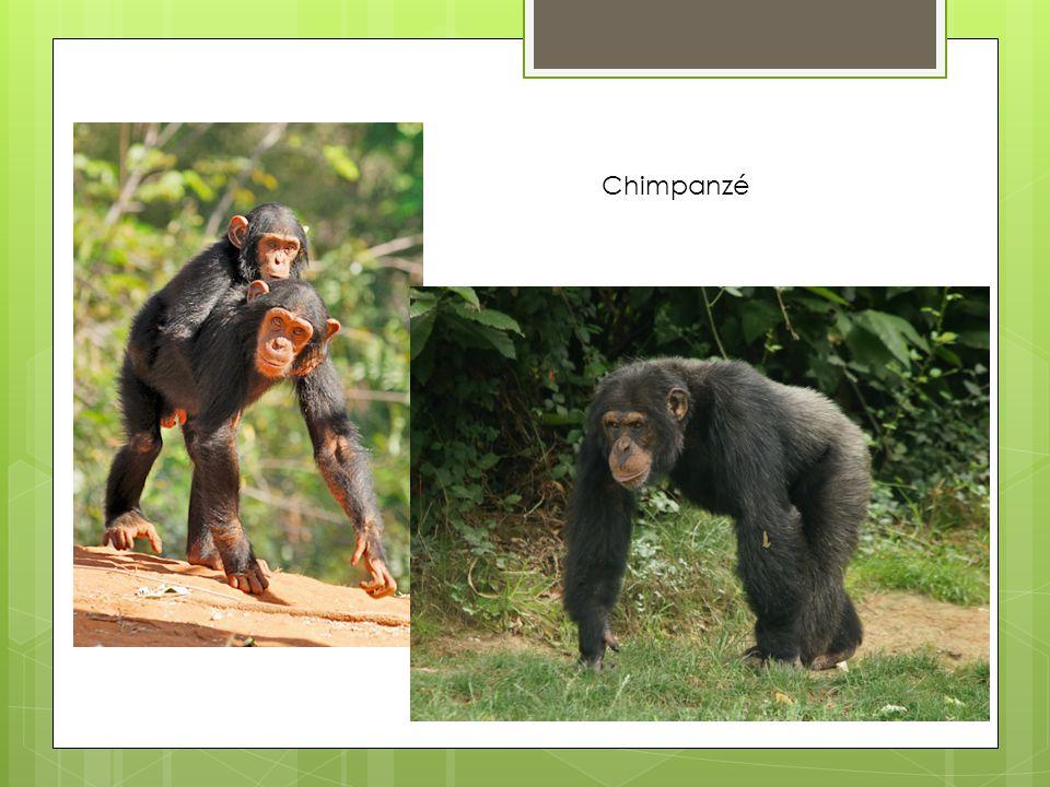 Família de bonobos