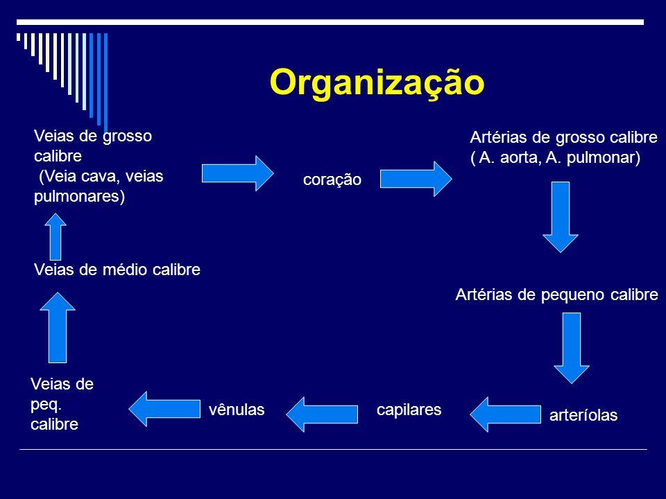 Organização Veias de grosso calibre (Veia cava, veias pulmonares) coração Artérias de grosso calibre ( A. aorta, A. pulmonar) Artérias de pequeno cali