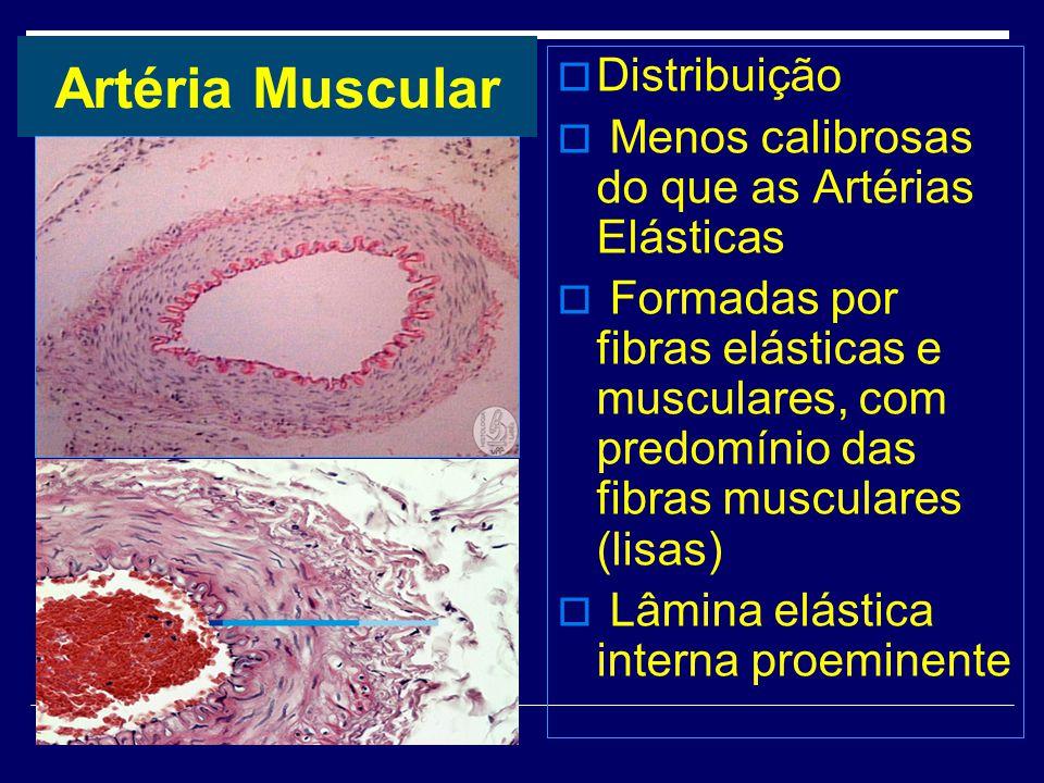 Artéria Muscular Distribuição Menos calibrosas do que as Artérias Elásticas Formadas por fibras elásticas e musculares, com predomínio das fibras musc