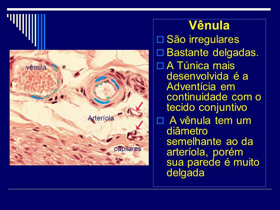 Vênula São irregulares Bastante delgadas. A Túnica mais desenvolvida é a Adventícia em continuidade com o tecido conjuntivo A vênula tem um diâmetro s