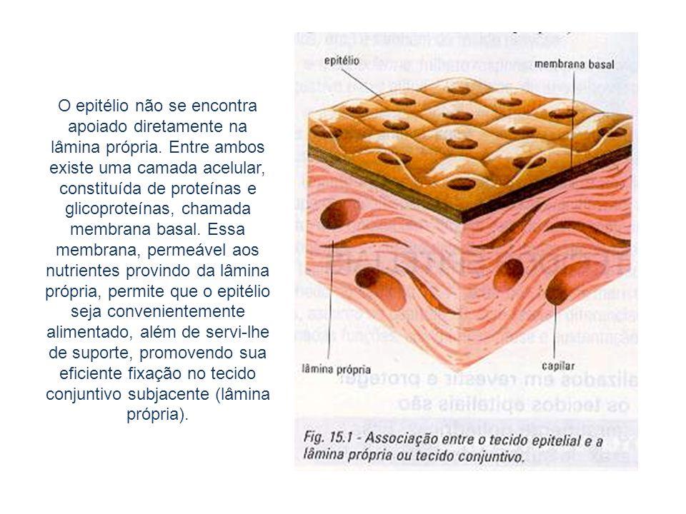 Fotomicrografia do epitélio pseudoestratificado de revestimento interno da traqueia.