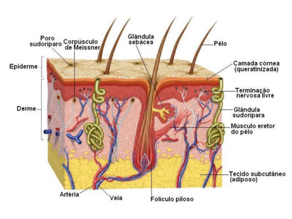 TECIDO EPITELIAL GLANDULAR As células do tecido epitelial glandular produzem substâncias chamadas secreções, que podem ser utilizadas e outras partes do corpo ou eliminadas do organismo.