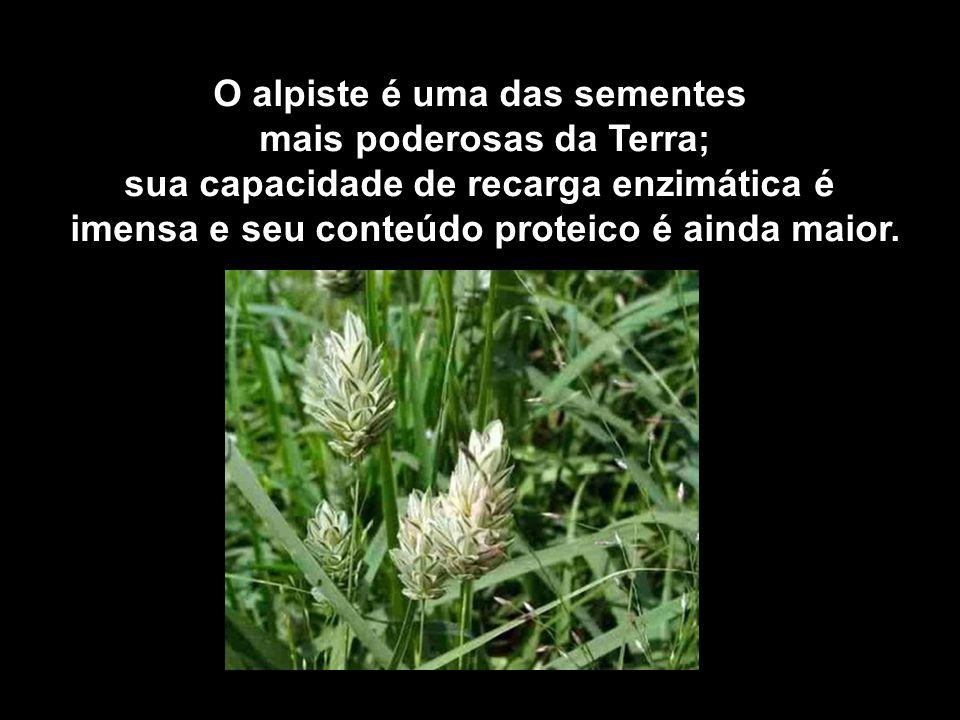 O alpiste é uma das sementes mais poderosas da Terra; sua capacidade de recarga enzimática é imensa e seu conteúdo proteico é ainda maior.