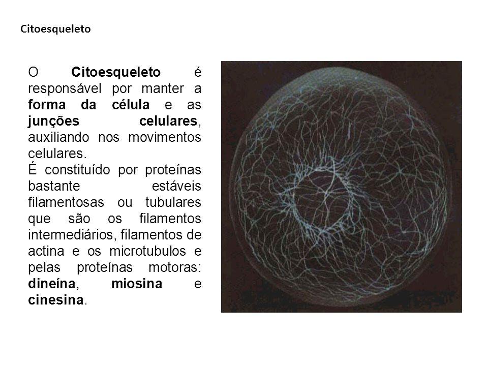 Citoesqueleto O Citoesqueleto é responsável por manter a forma da célula e as junções celulares, auxiliando nos movimentos celulares. É constituído po