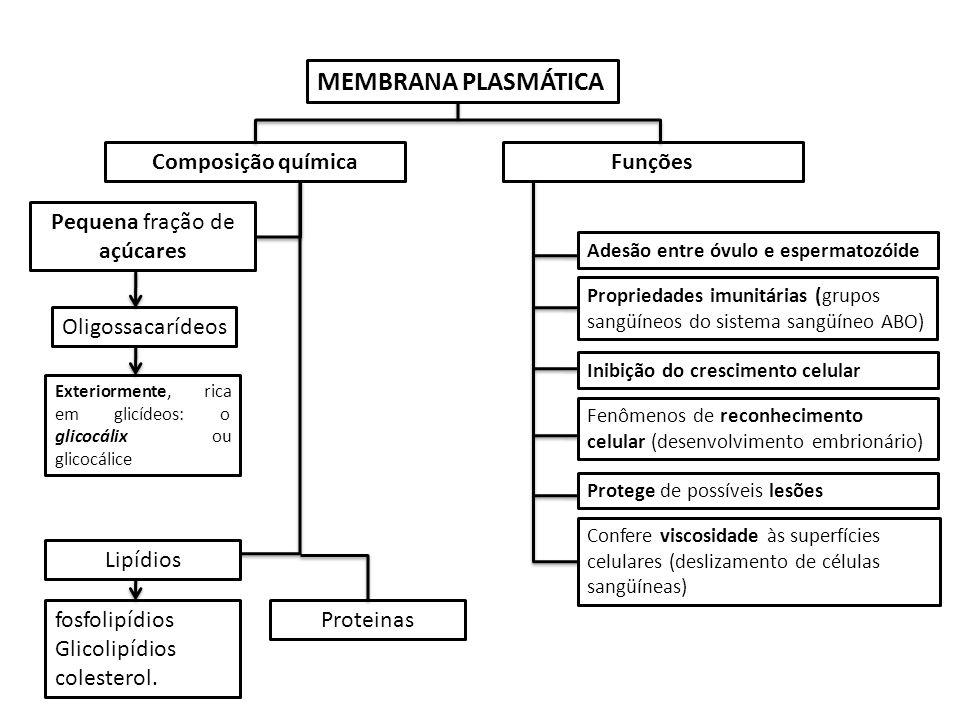 Composição química Pequena fração de açúcares Oligossacarídeos Exteriormente, rica em glicídeos: o glicocálix ou glicocálice Protege de possíveis lesões Confere viscosidade às superfícies celulares (deslizamento de células sangüíneas) Propriedades imunitárias (grupos sangüíneos do sistema sangüíneo ABO) Fenômenos de reconhecimento celular (desenvolvimento embrionário) Inibição do crescimento celular Adesão entre óvulo e espermatozóide Funções MEMBRANA PLASMÁTICA fosfolipídios Glicolipídios colesterol.
