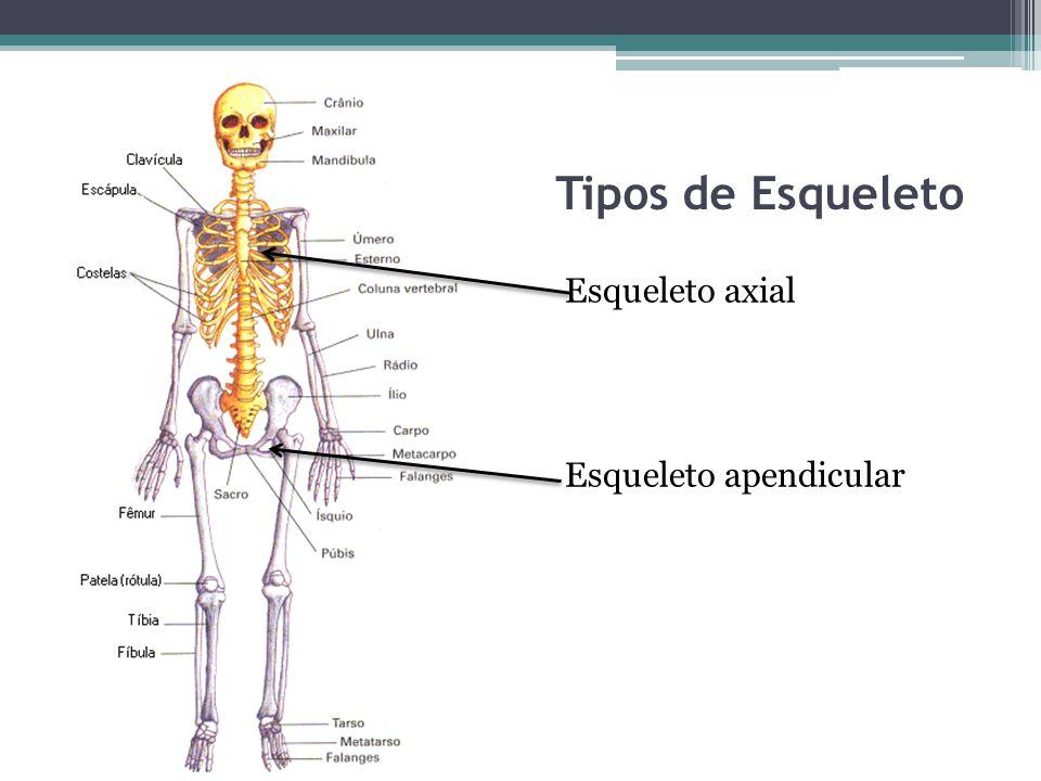 Tipos de Esqueleto Esqueleto axial Esqueleto apendicular