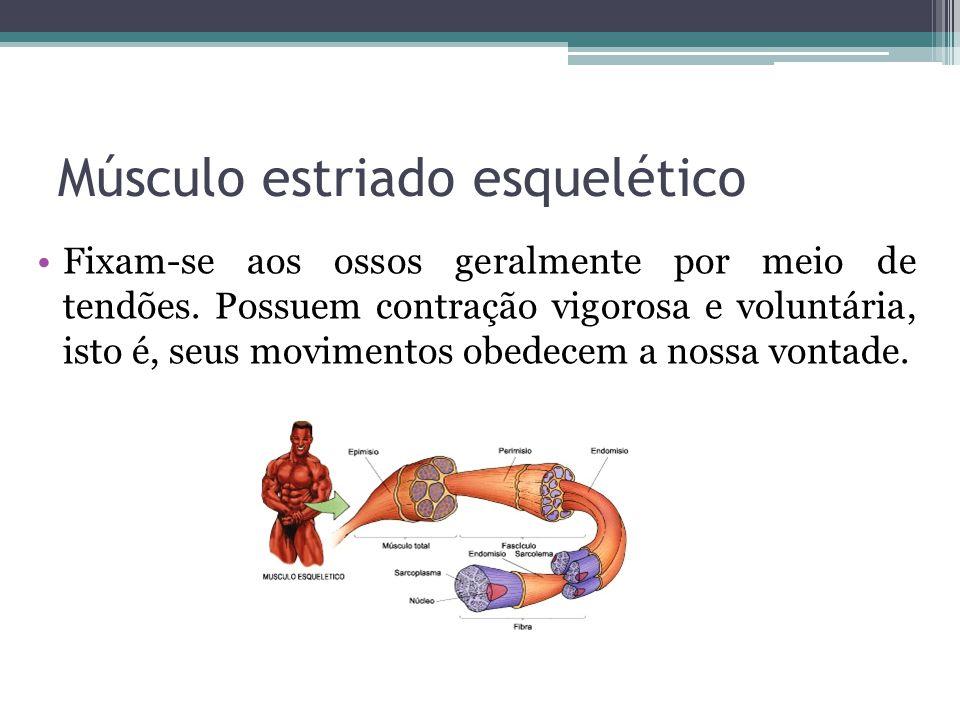 Músculo estriado esquelético Fixam-se aos ossos geralmente por meio de tendões.