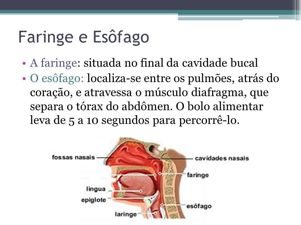 Faringe e Esôfago A faringe: situada no final da cavidade bucal O esôfago: localiza-se entre os pulmões, atrás do coração, e atravessa o músculo diafragma, que separa o tórax do abdômen.