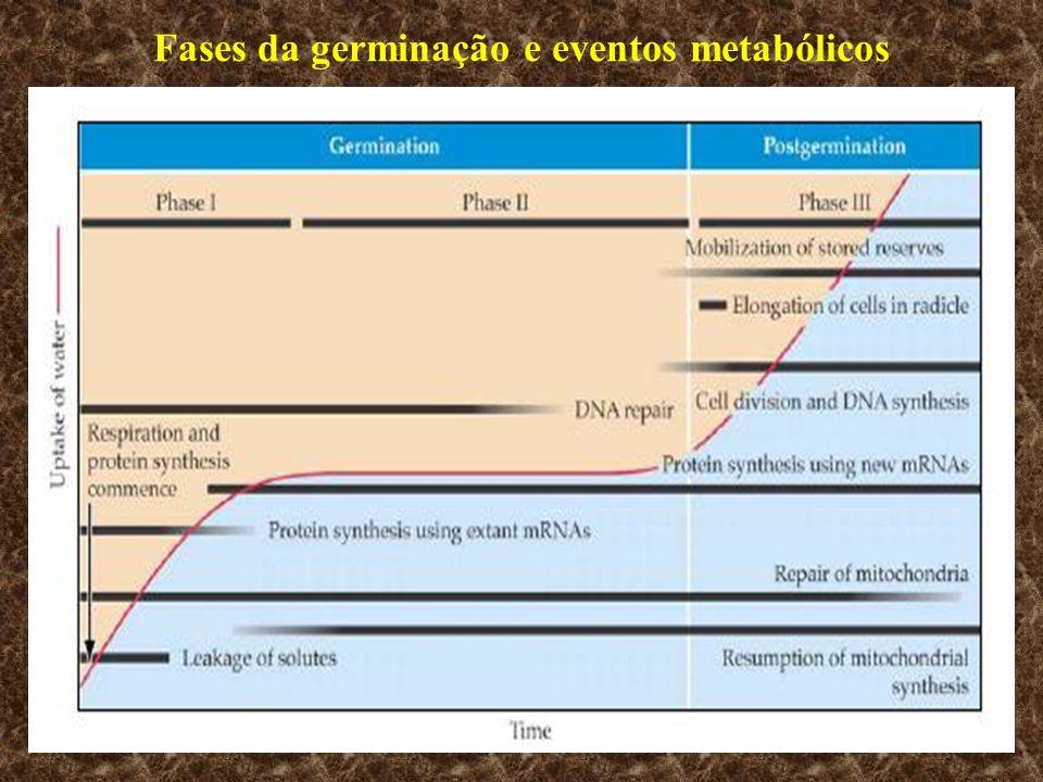 Fases da germinação e eventos metabólicos
