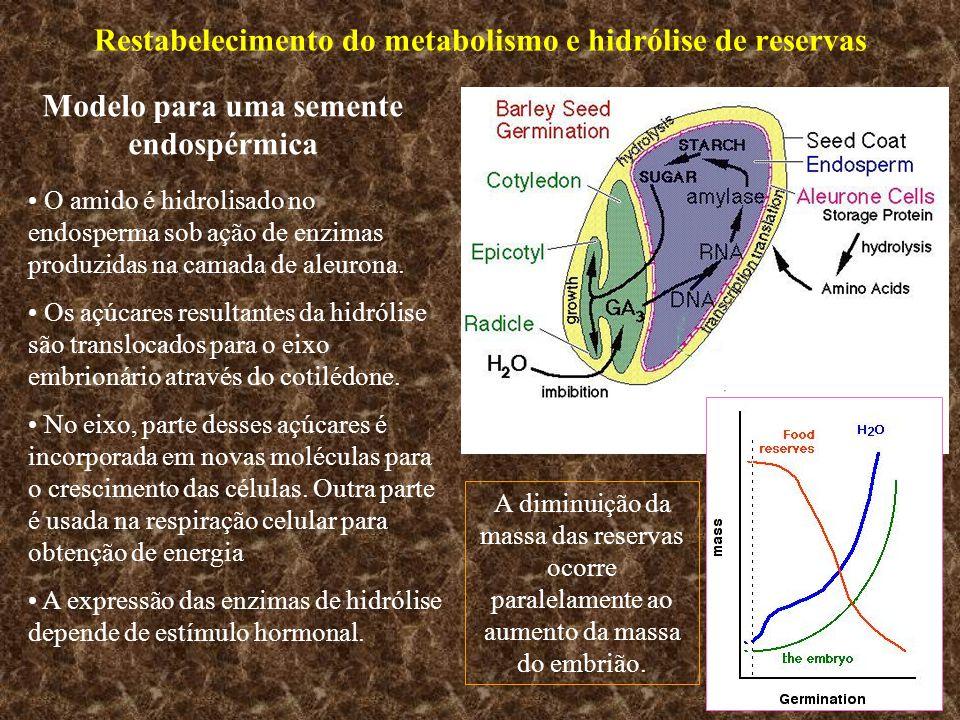 Restabelecimento do metabolismo e hidrólise de reservas Modelo para uma semente endospérmica O amido é hidrolisado no endosperma sob ação de enzimas p