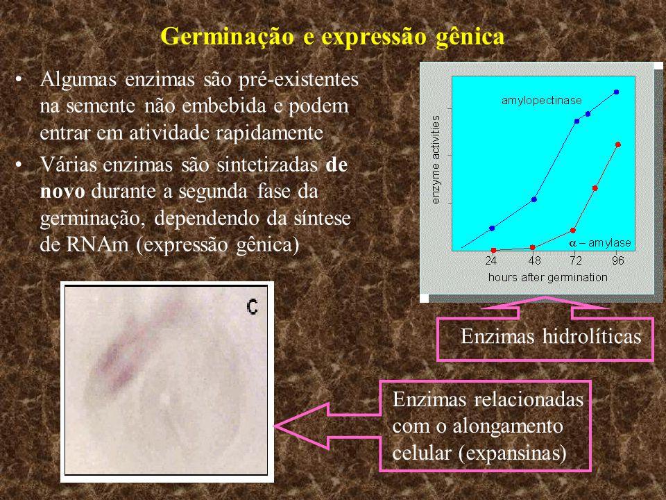Germinação e expressão gênica Algumas enzimas são pré-existentes na semente não embebida e podem entrar em atividade rapidamente Várias enzimas são si