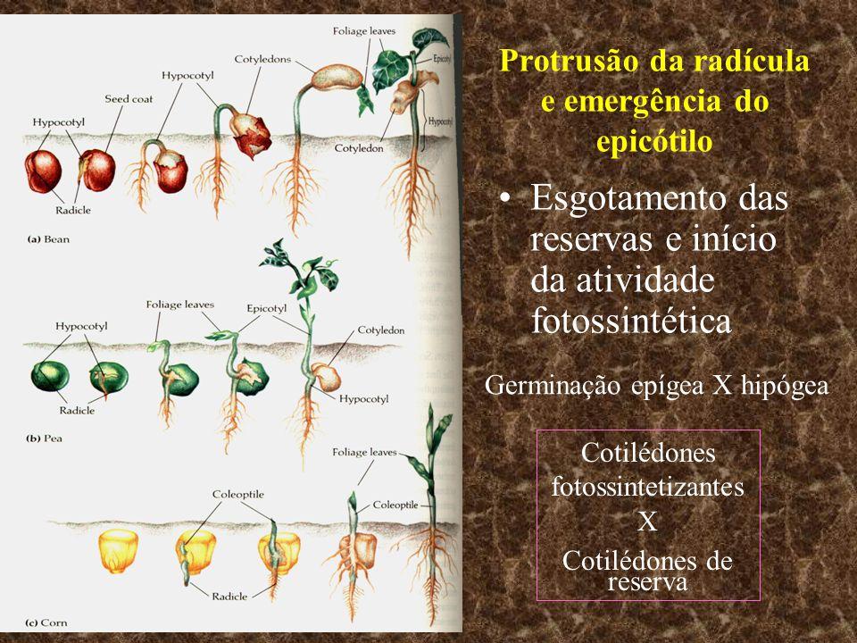 Protrusão da radícula e emergência do epicótilo Esgotamento das reservas e início da atividade fotossintética Germinação epígea X hipógea Cotilédones