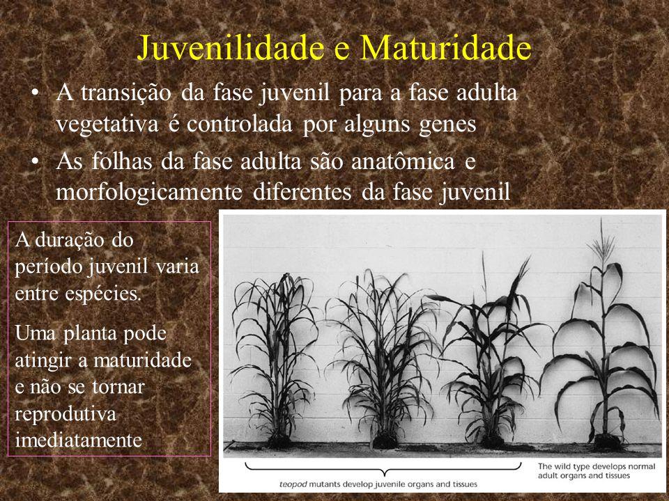 Juvenilidade e Maturidade A transição da fase juvenil para a fase adulta vegetativa é controlada por alguns genes As folhas da fase adulta são anatômi