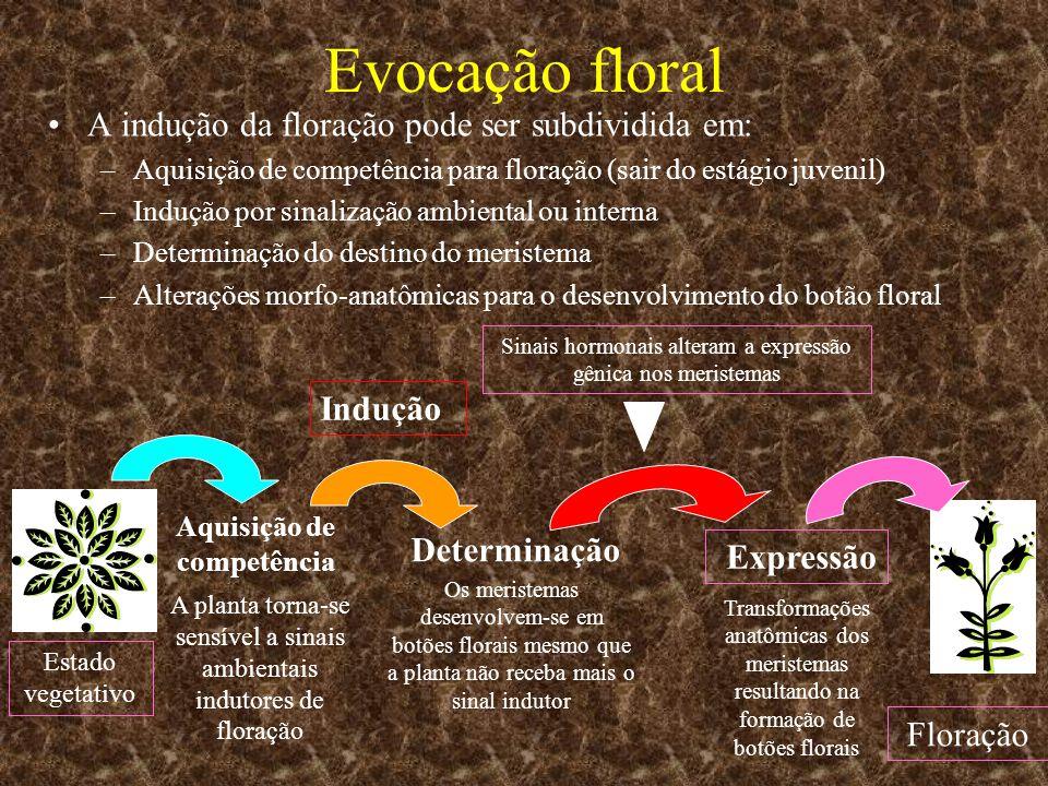 Evocação floral A indução da floração pode ser subdividida em: –Aquisição de competência para floração (sair do estágio juvenil) –Indução por sinaliza