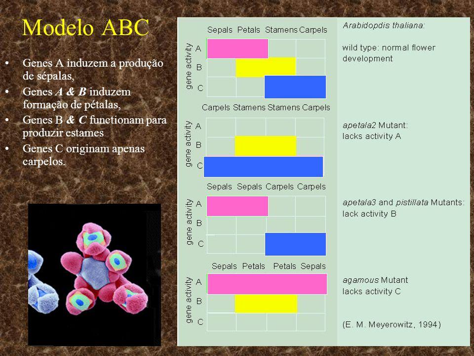 Modelo ABC Genes A induzem a produção de sépalas, Genes A & B induzem formação de pétalas, Genes B & C functionam para produzir estames Genes C origin