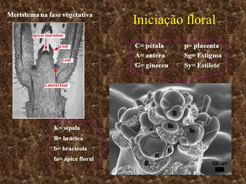 Iniciação floral C= pétalap= placenta A= anteraSg= Estigma G= gineceuSy= Estilete K= sépala B= bráctea b= bractéola fa= ápice floral Meristema na fase