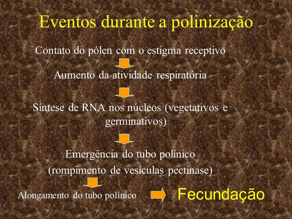 Eventos durante a polinização Contato do pólen com o estigma receptivo Aumento da atividade respiratória Síntese de RNA nos núcleos (vegetativos e ger