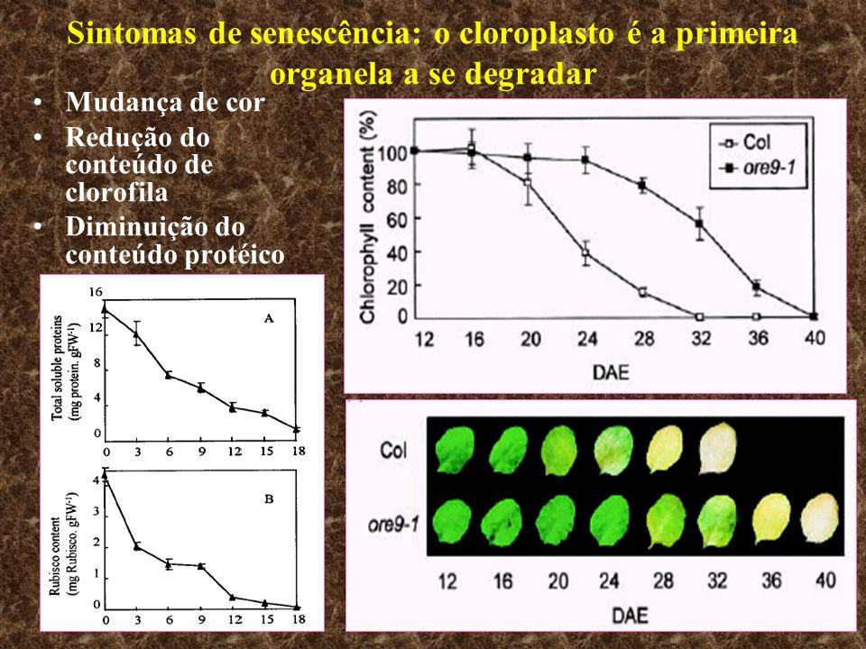 Sintomas de senescência: o cloroplasto é a primeira organela a se degradar Mudança de cor Redução do conteúdo de clorofila Diminuição do conteúdo prot