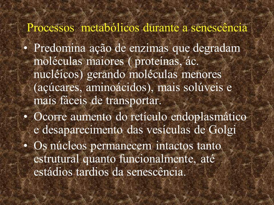 Processos metabólicos durante a senescência Predomina ação de enzimas que degradam moléculas maiores ( proteínas, ác. nucléicos) gerando moléculas men