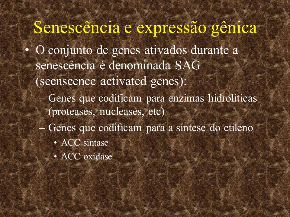 Senescência e expressão gênica O conjunto de genes ativados durante a senescência é denominada SAG (seenscence activated genes): –Genes que codificam