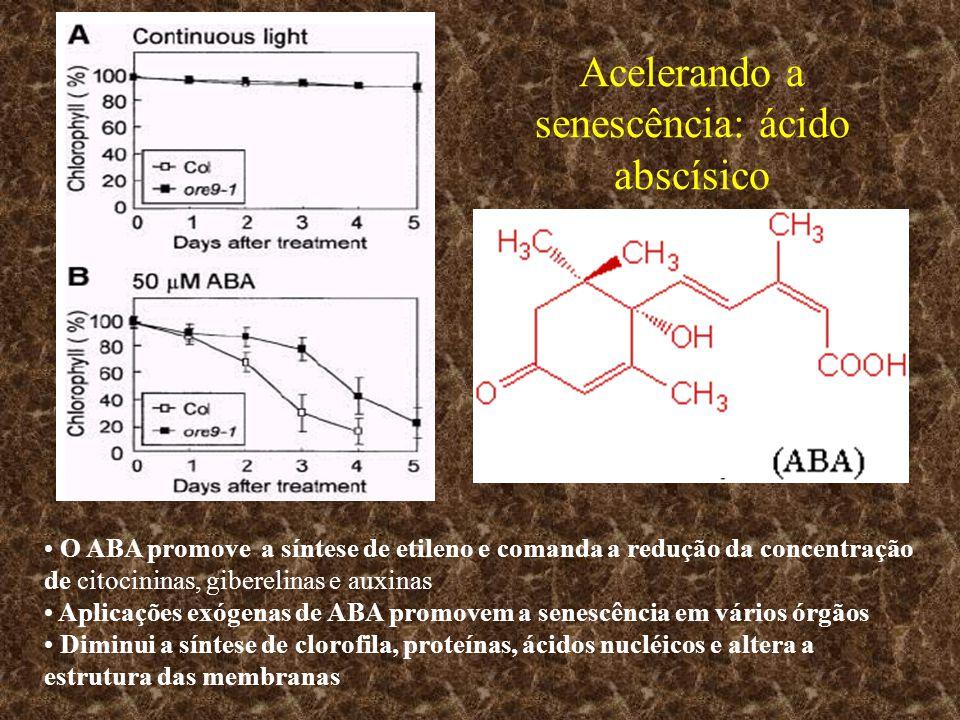 Acelerando a senescência: ácido abscísico O ABA promove a síntese de etileno e comanda a redução da concentração de citocininas, giberelinas e auxinas