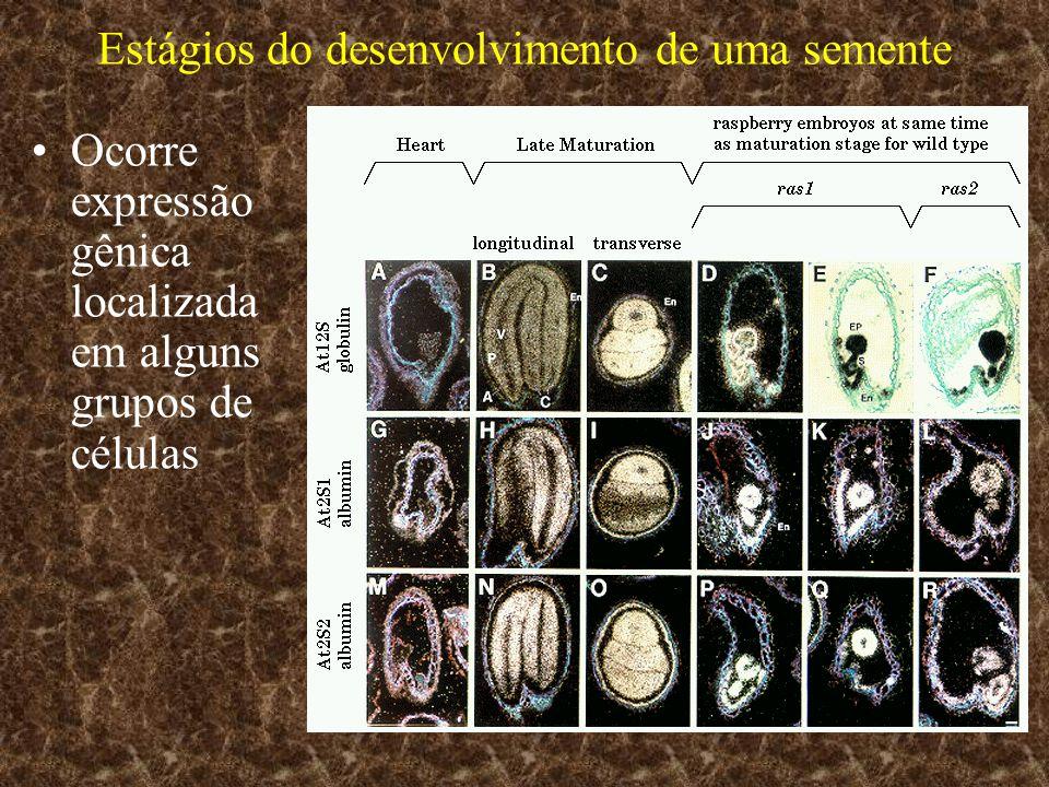Estágios do desenvolvimento de uma semente A expressão gênica também apresenta variação ao longo do tempo e o estágio de desenvolv.