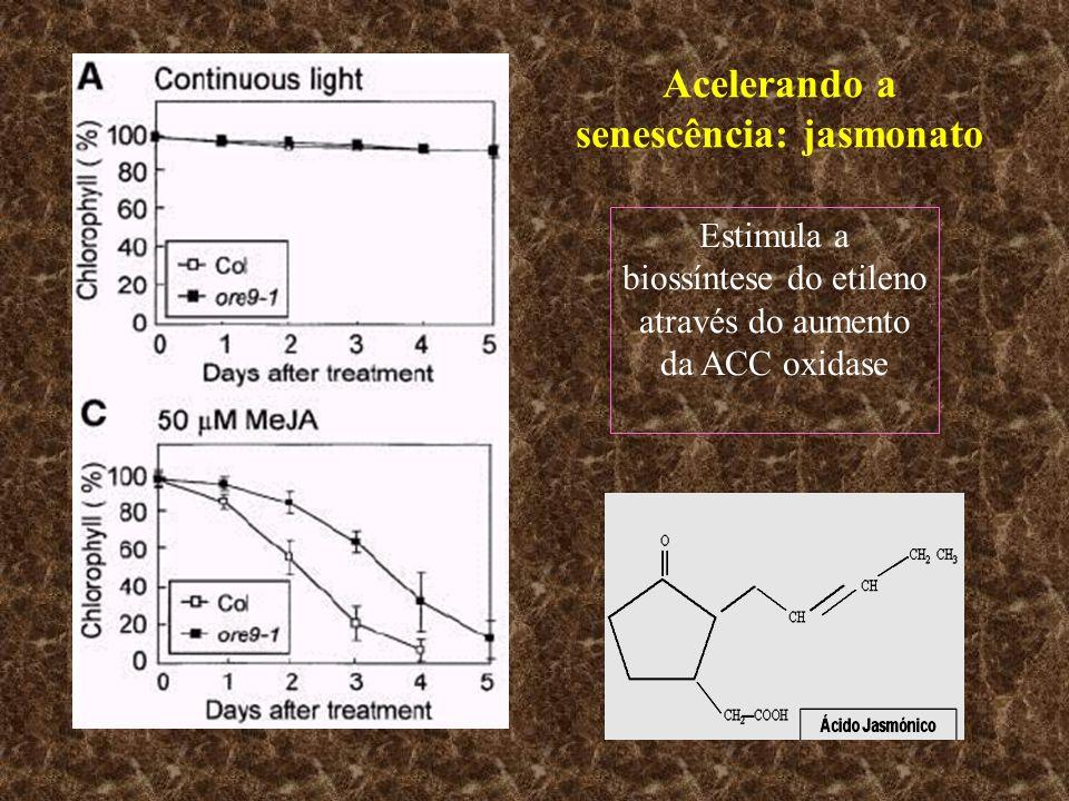 Acelerando a senescência: jasmonato Estimula a biossíntese do etileno através do aumento da ACC oxidase