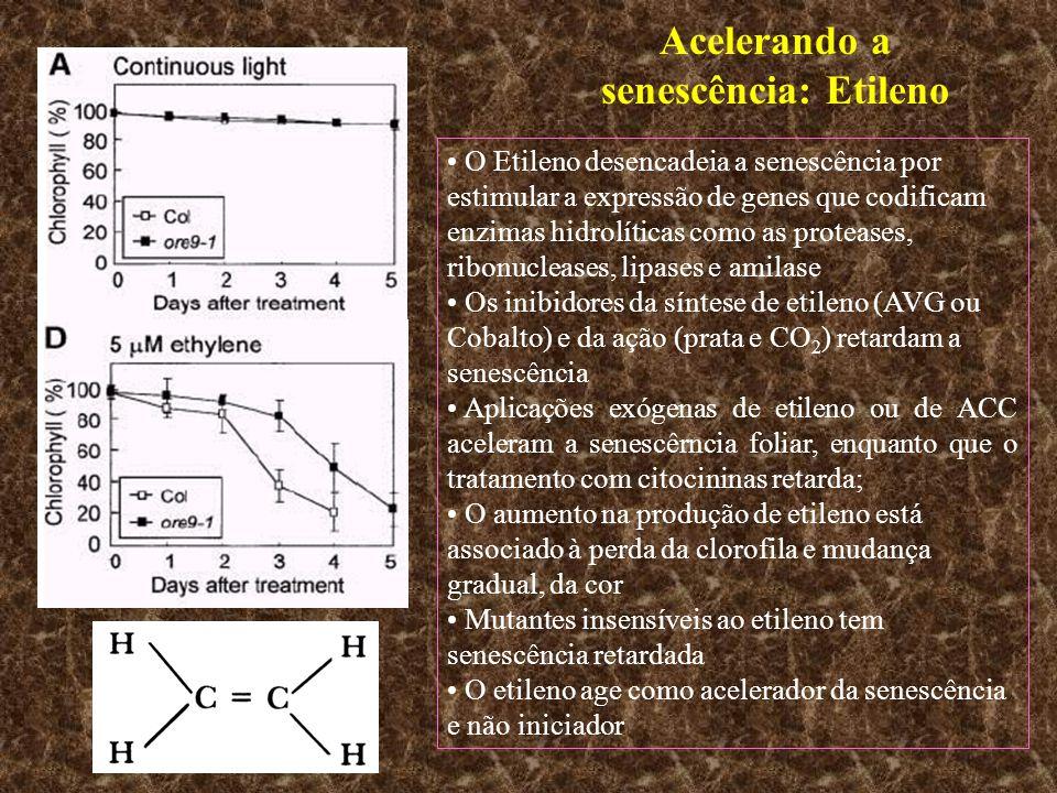 Acelerando a senescência: Etileno O Etileno desencadeia a senescência por estimular a expressão de genes que codificam enzimas hidrolíticas como as pr