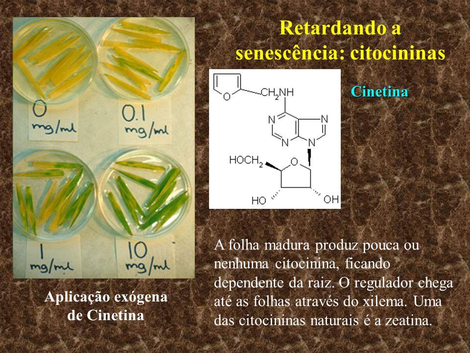 Retardando a senescência: citocininas Aplicação exógena de Cinetina A folha madura produz pouca ou nenhuma citocinina, ficando dependente da raiz. O r
