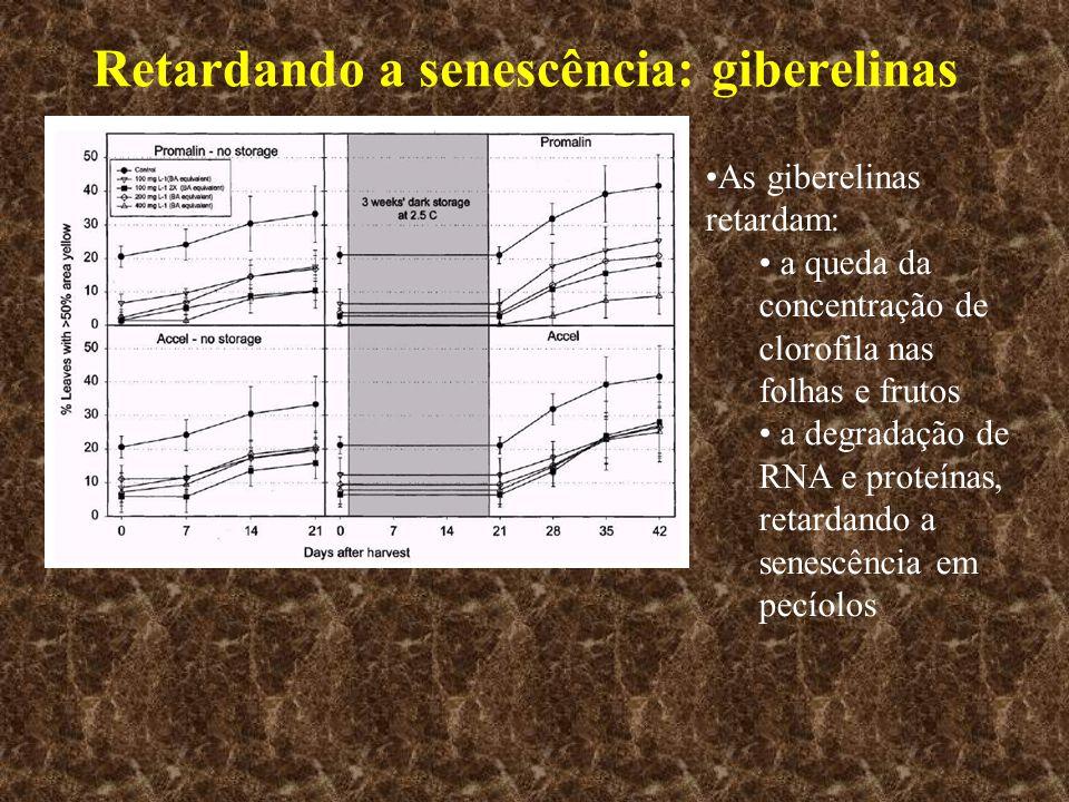 Retardando a senescência: giberelinas As giberelinas retardam: a queda da concentração de clorofila nas folhas e frutos a degradação de RNA e proteína
