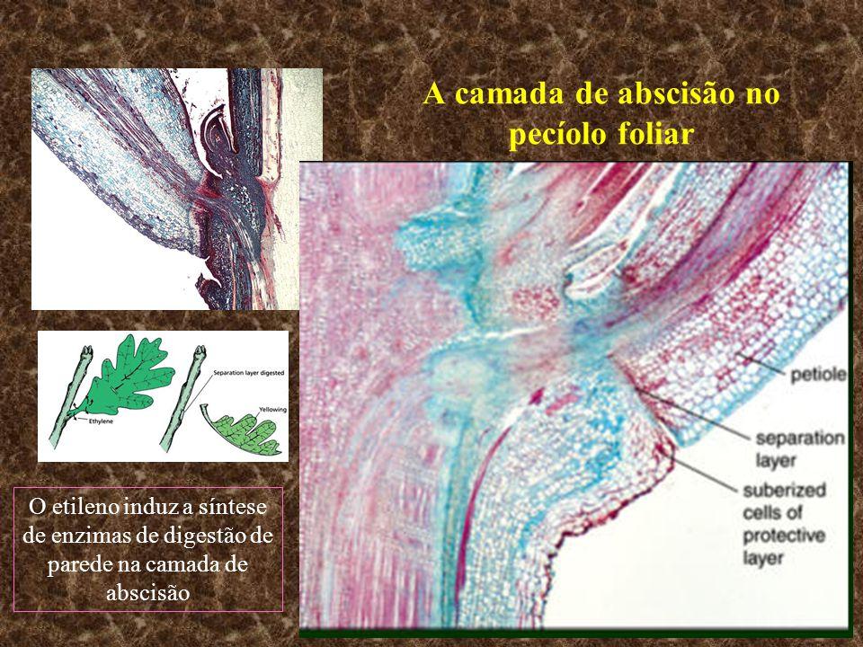 A camada de abscisão no pecíolo foliar O etileno induz a síntese de enzimas de digestão de parede na camada de abscisão
