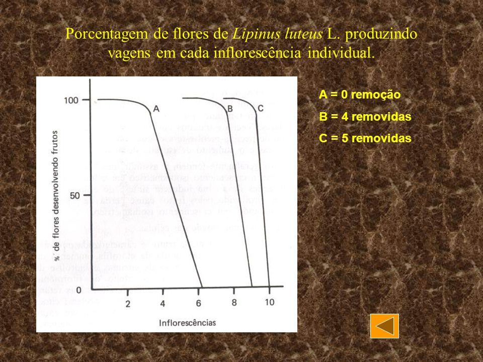Porcentagem de flores de Lipinus luteus L. produzindo vagens em cada inflorescência individual. A = 0 remoção B = 4 removidas C = 5 removidas