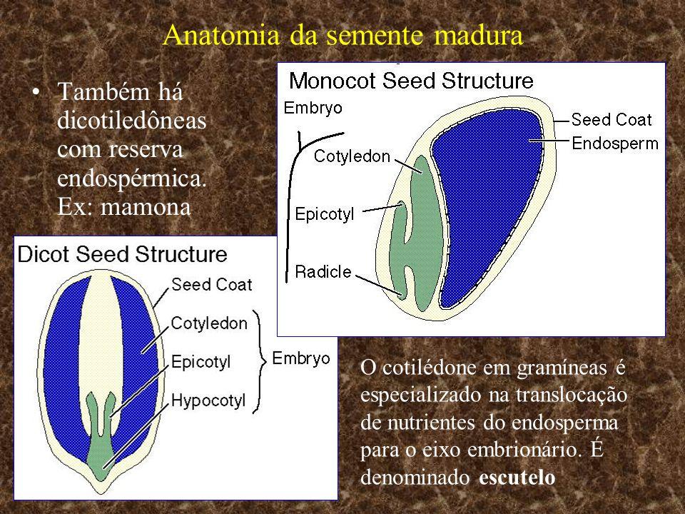 Anatomia da semente madura Também há dicotiledôneas com reserva endospérmica. Ex: mamona O cotilédone em gramíneas é especializado na translocação de
