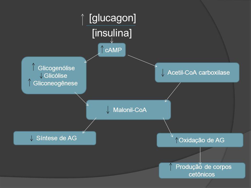 [glucagon] [insulina] Glicogenólise Glicólise Gliconeogênese Acetil-CoA carboxilase Malonil-CoA Síntese de AG Oxidação de AG Produção de corpos cetôni