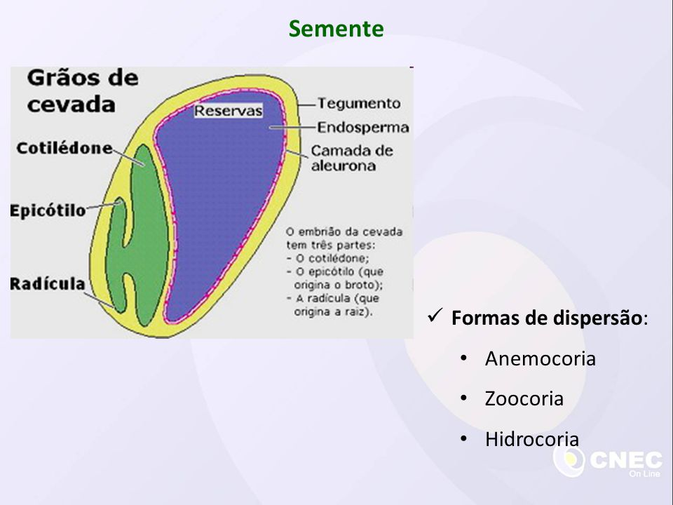 Semente Formas de dispersão: Anemocoria Zoocoria Hidrocoria
